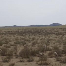 Jining naar Erenhot - schaapskudde in landschap