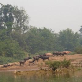 Nong Khiaw - buffels in de Nam Ou rivier