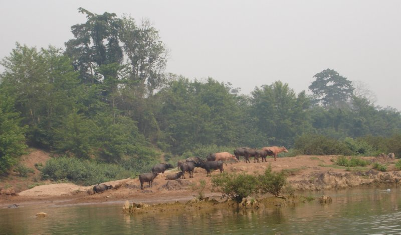 Nong Khiaw - buffels in de Nam Ou rivier