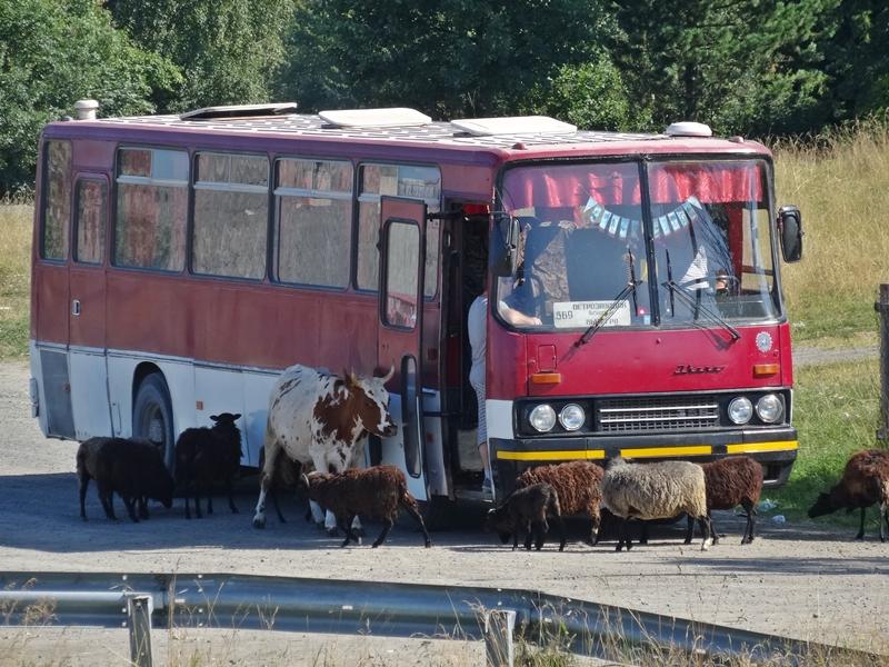 Ferapontovo naar Petrozavodsk - Svir rivier - koe en schapen bij bus