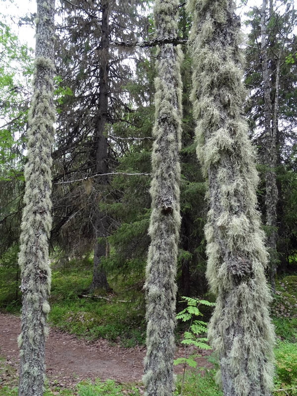 Solovetski - bemoste bomen
