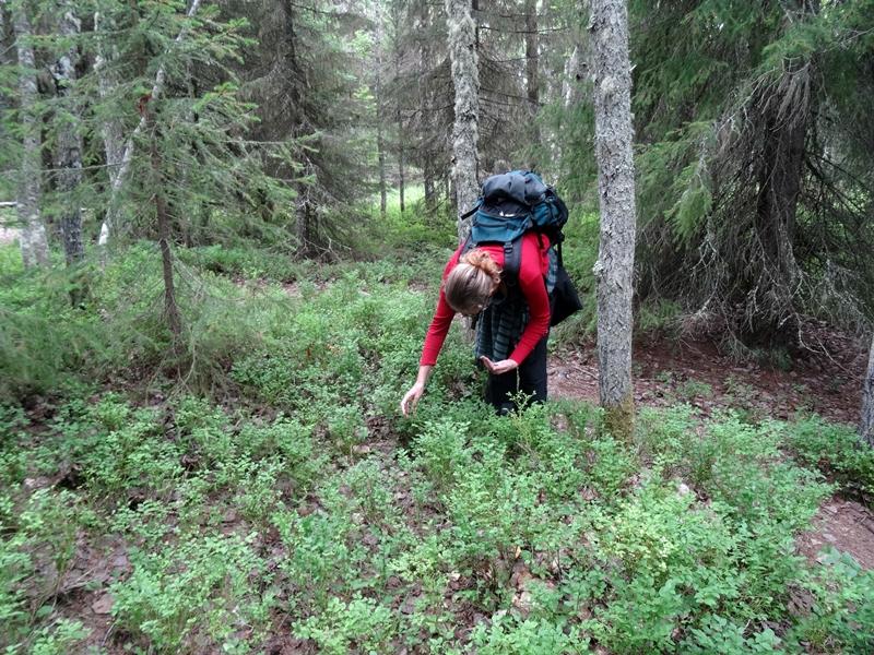 Solovetski - bosbessen plukken